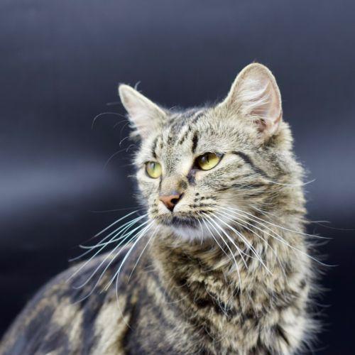 Promise - Domestic Medium Hair Cat