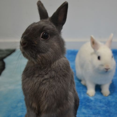Snowball and Smokey - Netherland Dwarf Rabbit