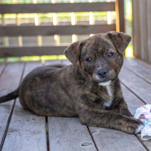 Charlotte ~ Staffy X Kelpie X Border Collie puppy - Staffy x Kelpie x Border Collie Dog