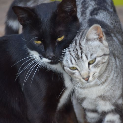 Fliss and Bella ~ bonded pair - Domestic Short Hair Cat