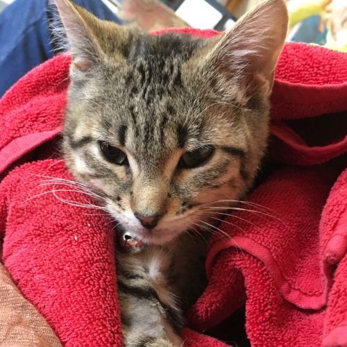 Britt - Domestic Short Hair Cat