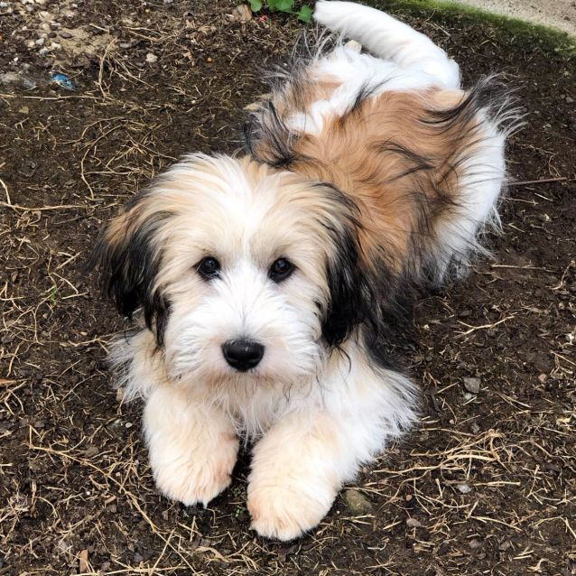 Theo Small Male Maltese Mix Dog In Qld Petrescue