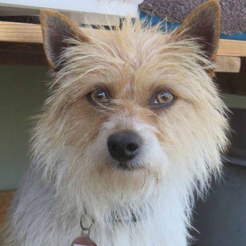 Stewie - Terrier Dog