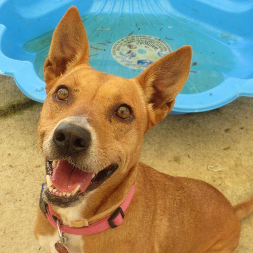 Gabby - Kelpie Dog
