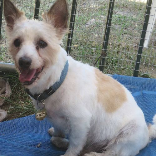 Wally - Jack Russell Terrier x Maltese Dog