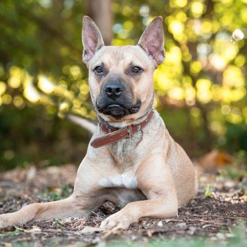 Spike - Kelpie Dog