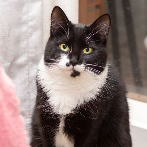 Maggie **2nd Chance Cat Rescue** - Domestic Medium Hair Cat