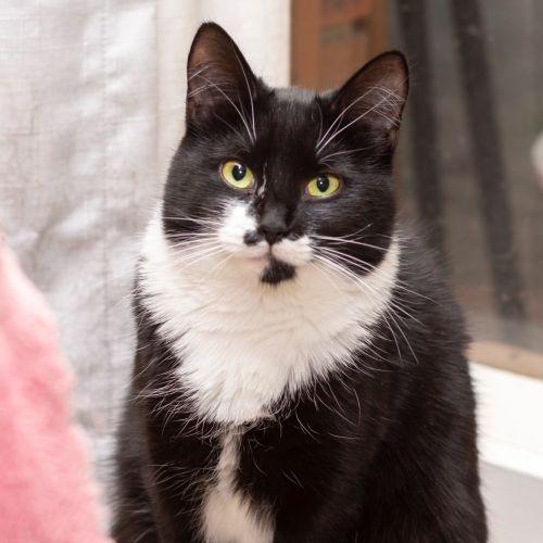 Maggie **2nd Chance Cat Rescue** - Domestic Medium Hair Cat