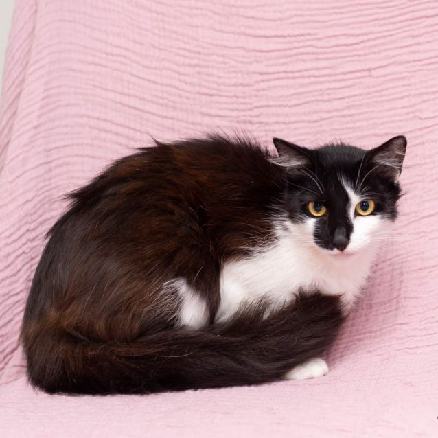 Photo of Ziggy ** 2nd Chance Cat Rescue**