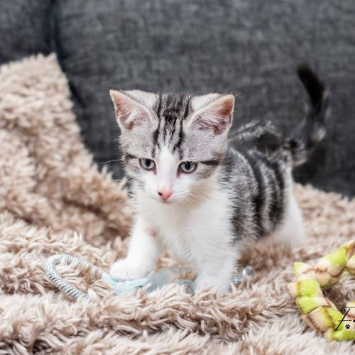 Kevin **2nd Chance Cat Rescue** - Domestic Short Hair Cat