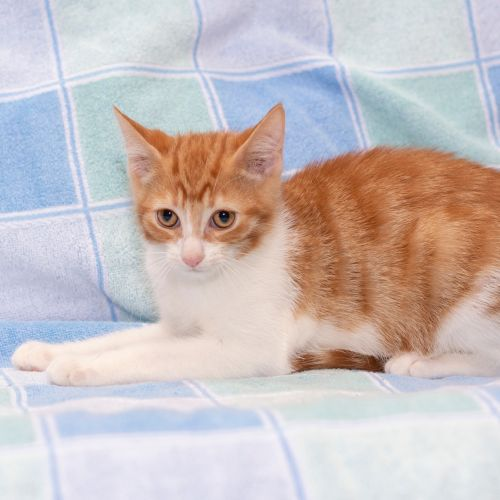 B2 **2nd Chance Cat Rescue** - Domestic Short Hair Cat
