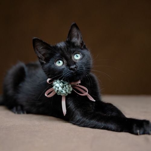 Midnight & Matrix  - Domestic Short Hair Cat