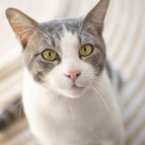 Admiral Whiskers - Domestic Short Hair Cat