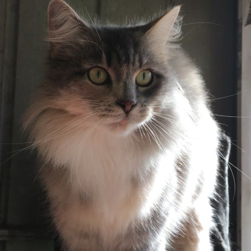 Linda - Domestic Medium Hair Cat