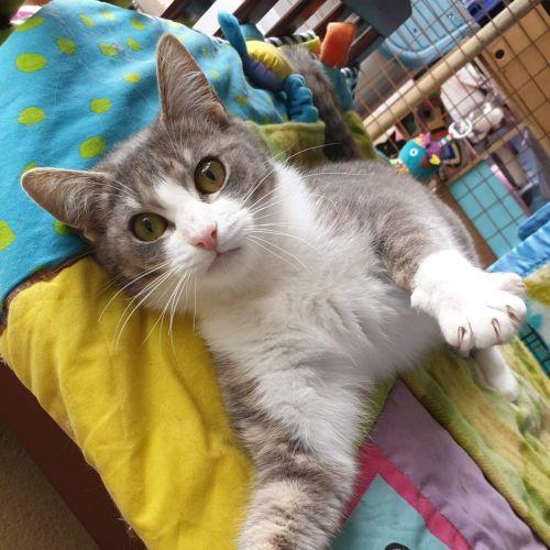 Little Kim 🤩 - Domestic Short Hair Cat