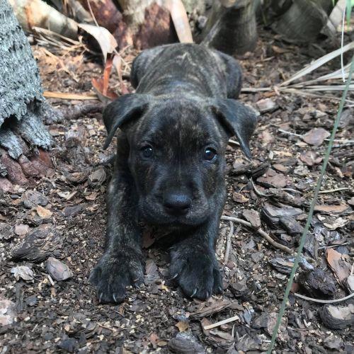 Bren - Rhodesian Ridgeback x Mastiff Dog
