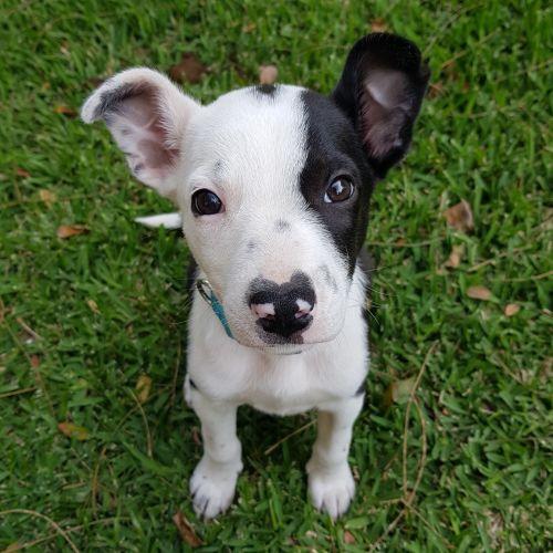 Brave - Border Collie Dog