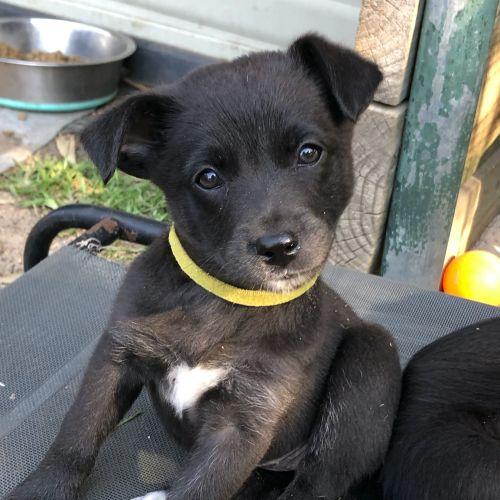Gigi - Kelpie x German Shepherd Dog