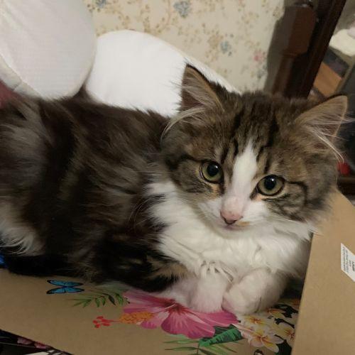 Tabigail - Located in Eltham - Domestic Medium Hair Cat