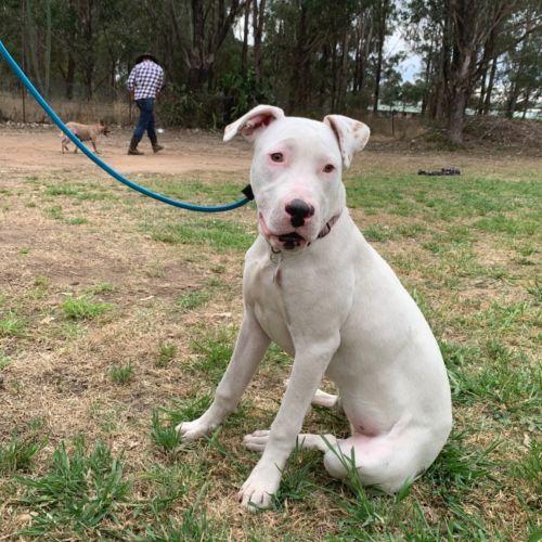 Athena - Bull Arab Dog