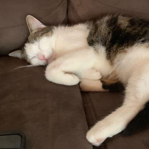 Shelley - Domestic Short Hair Cat