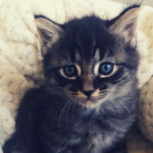 Phoebe - Domestic Medium Hair x Domestic Short Hair Cat