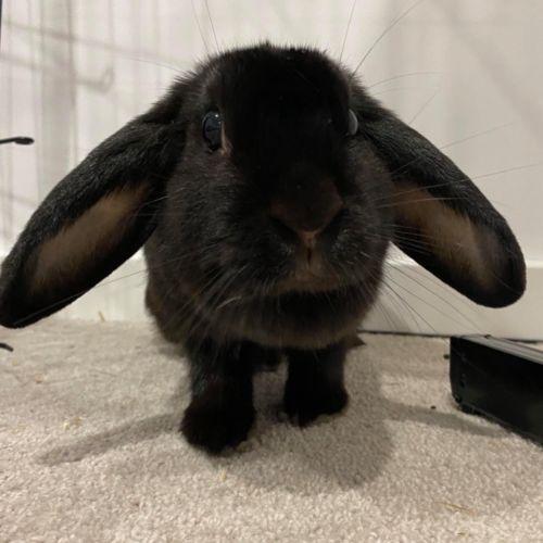 Lupita  - Dwarf lop Rabbit