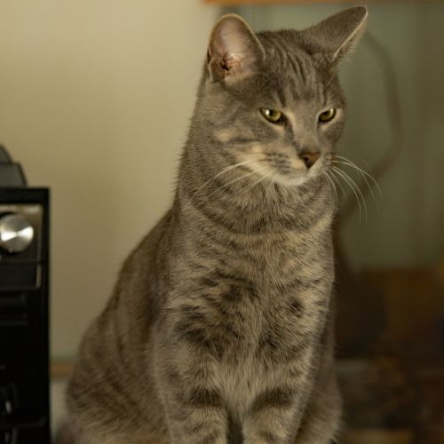 Bouncy Mr Bojangles - Domestic Short Hair Cat
