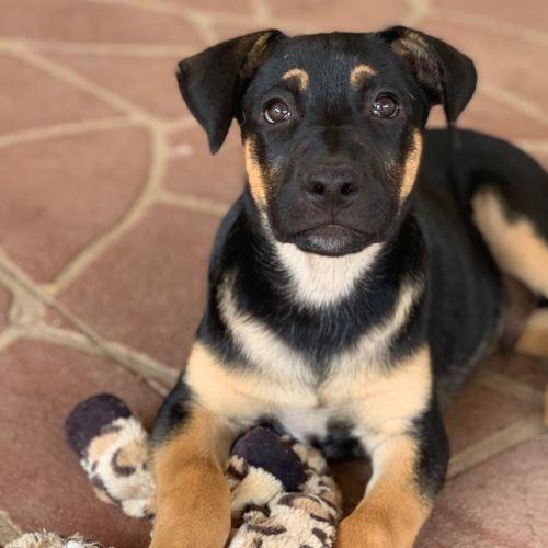 Zeus ⚡️ - German Shepherd Dog
