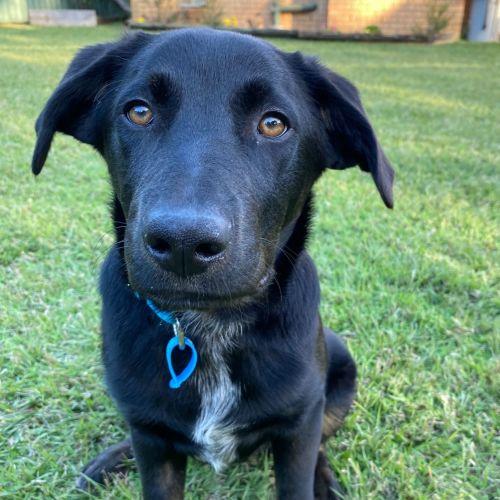 Slater - Labrador Dog
