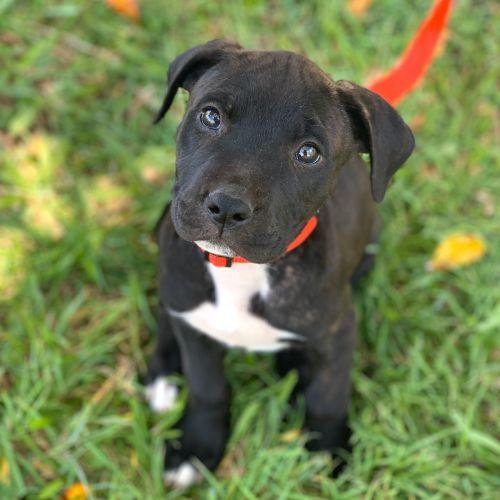 Bronte - Staffordshire Bull Terrier x American Staffordshire Bull Terrier Dog