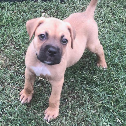 Jaffa - Mastiff Dog