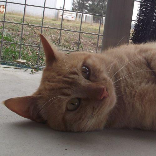 Sherpa (97590) - Domestic Short Hair Cat