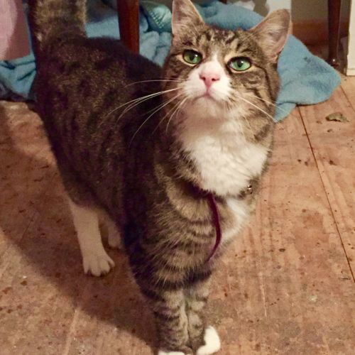Give a quirky old gal a chance 💕 - Domestic Short Hair Cat
