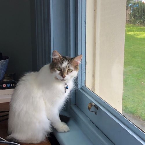 Buffy (Located in St Kilda) - Domestic Long Hair Cat