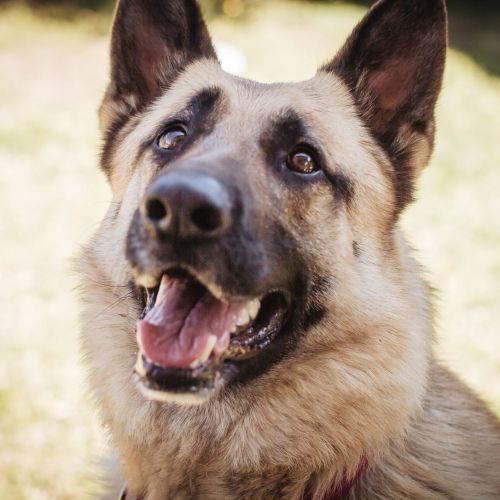 Narla ~ 5yo German Shepherd Dog