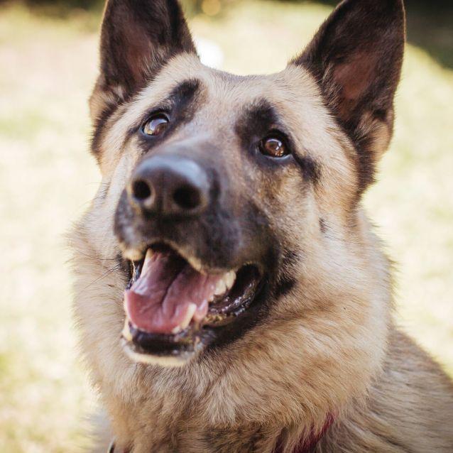 Photo of Narla ~ 5yr Old German Shepherd