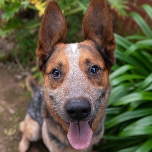 Chief - Australian Cattle Dog x German Shepherd Dog