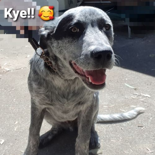 Kye - Koolie x Cattle Dog x Collie Dog