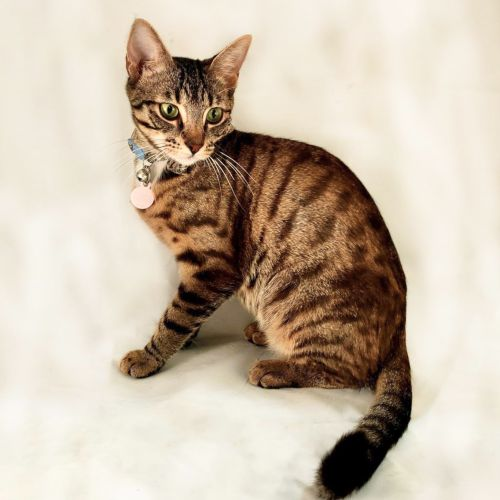 Tinsel ~ 2 year old female cat