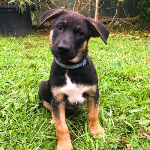 Castiel - German Shepherd Dog