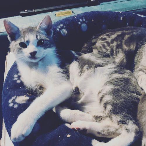Sawni - Domestic Medium Hair Cat