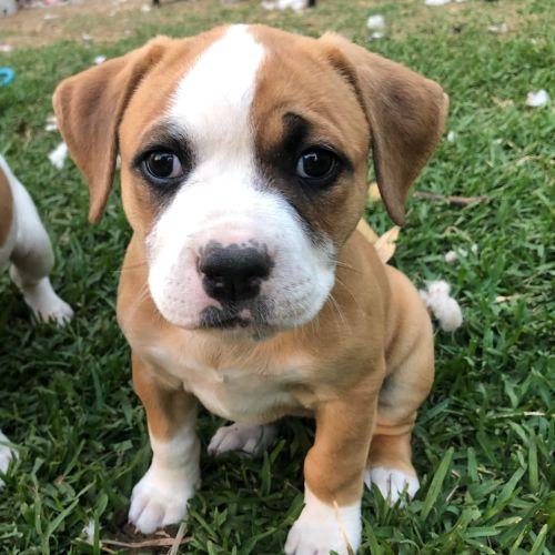 Nessie ~ Adoption Pending ~ - American Bulldog