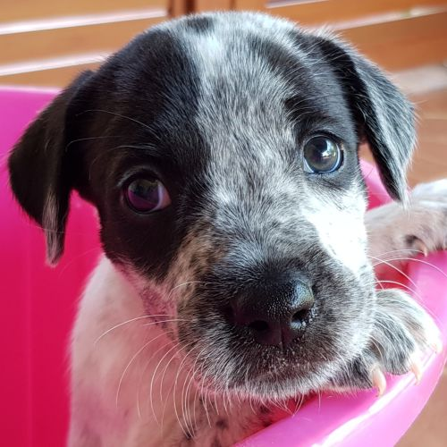 Piper - Irish Wolfhound x Border Collie Dog