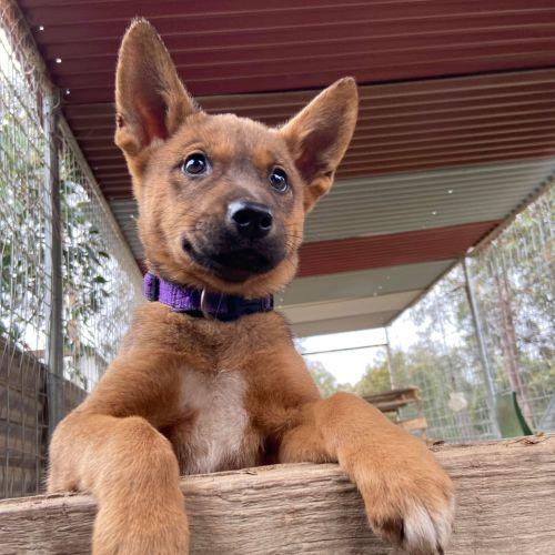 Wombat - Dingo