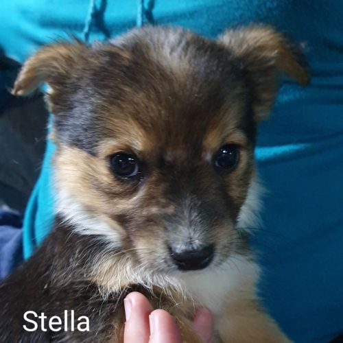 Stella - Jack Russell Terrier Dog