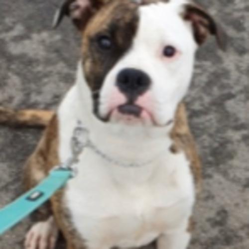 Hector - American Bulldog