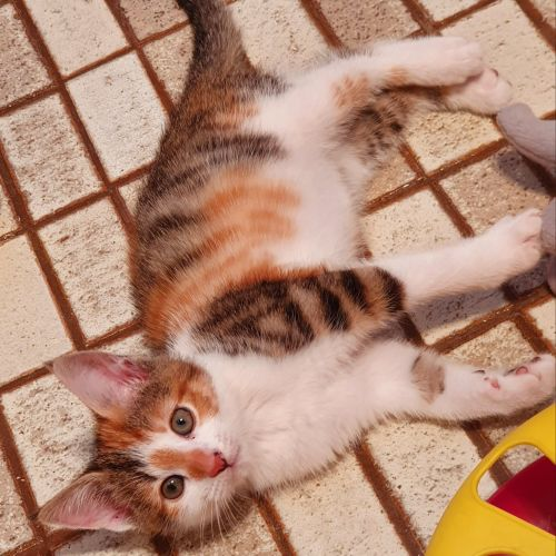 Lizzie - Domestic Short Hair Cat