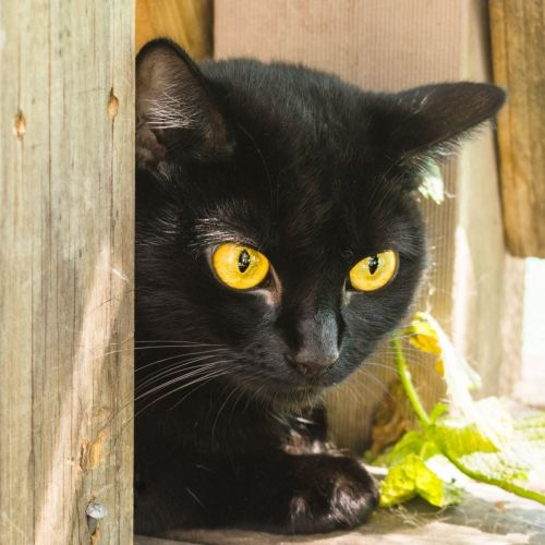 Jackie Collins ** 2nd Chance Cat Rescue** - Domestic Short Hair Cat