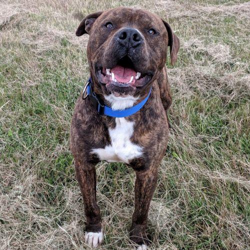 Koda - American Staffordshire Terrier Dog